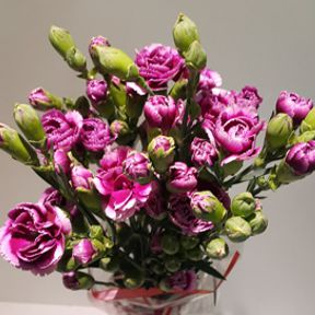 afg_carnations-spray-purple