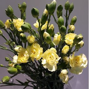 afg_carnations-spray-yellow