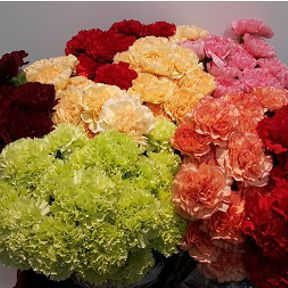 afg_carnations-standard-mix
