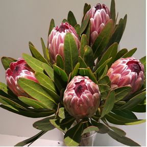 afg_protea-pink-ice