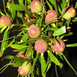 leucadondron ayoba blush pearl