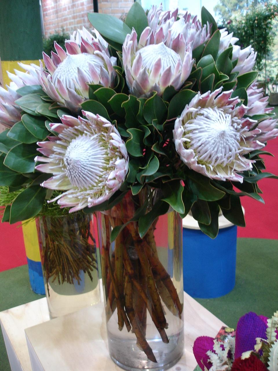 Goyang show 2016 Cynaroides Pink
