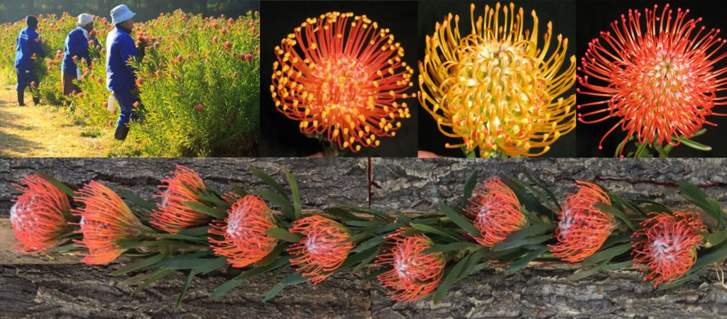 We supply farm fresh Leucospermum